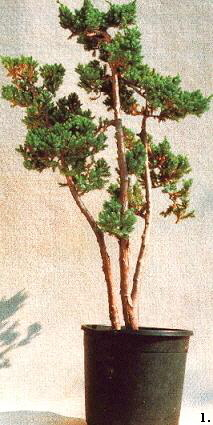 从苗木制作文人式盆景